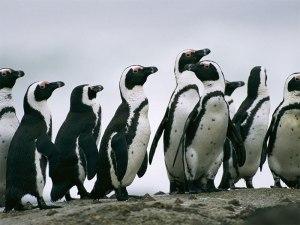 پنگوئن-پنگوئن آفریقای جنوبی-گردشگری افریقا جنوبی-تور افریقا جنوبی-تور لحظه اخر-تور ارزان-تور ارزان افریقا