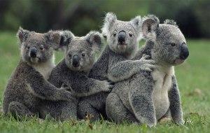 کوالا-خرس کوالا-koala-استرالیا-حیات وحش استرالیا-سفر به استرالیا-تور استرالیا-پرواز استرالیا-بلیط استرالیا