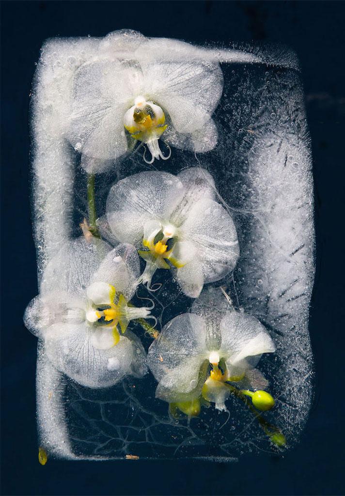 frozen-flowers - ثبت تصاویر گل ها در بین یخ ها
