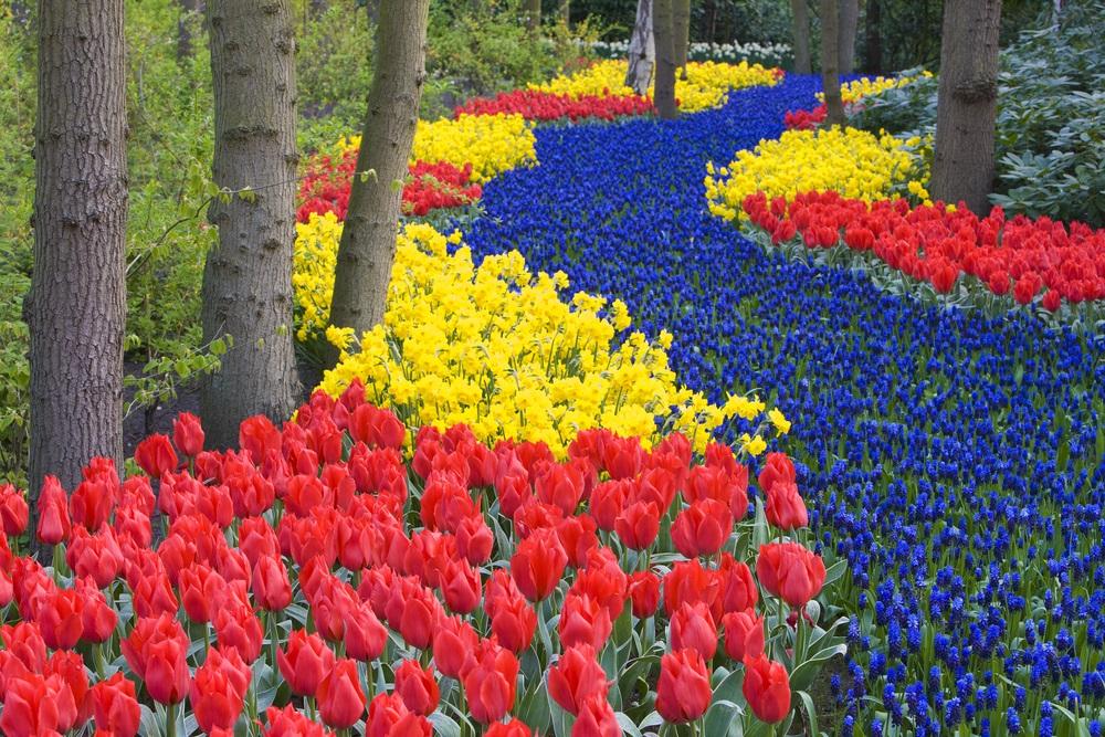 گلهای لاله