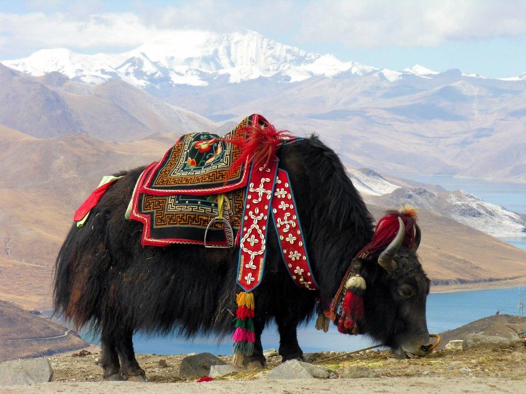 دامپروری در تبت