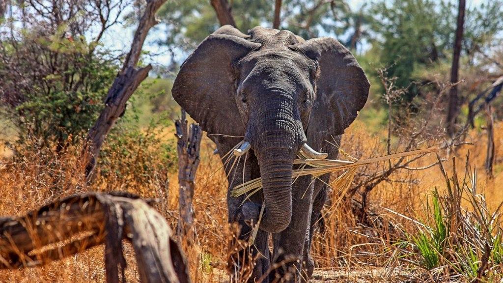 فیل ها در انقراض