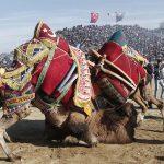 مسابقه کشتی شترها