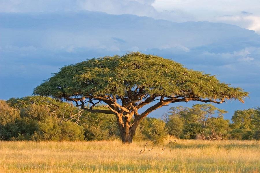 درختان اقاقیا در آفریقا